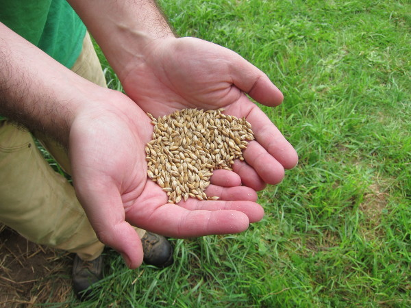Handful of barley seed